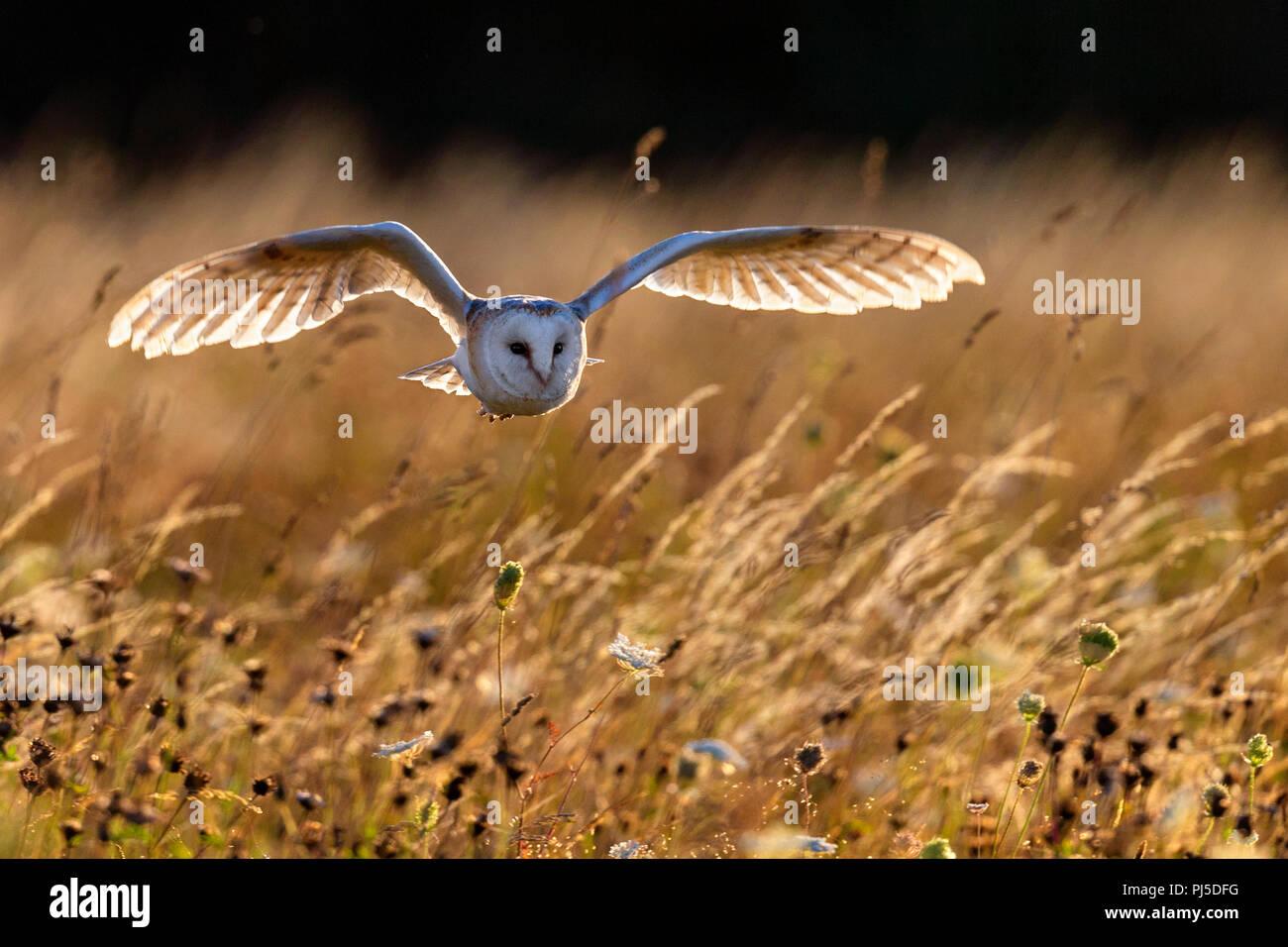 Schleiereule im Flug Stockbild