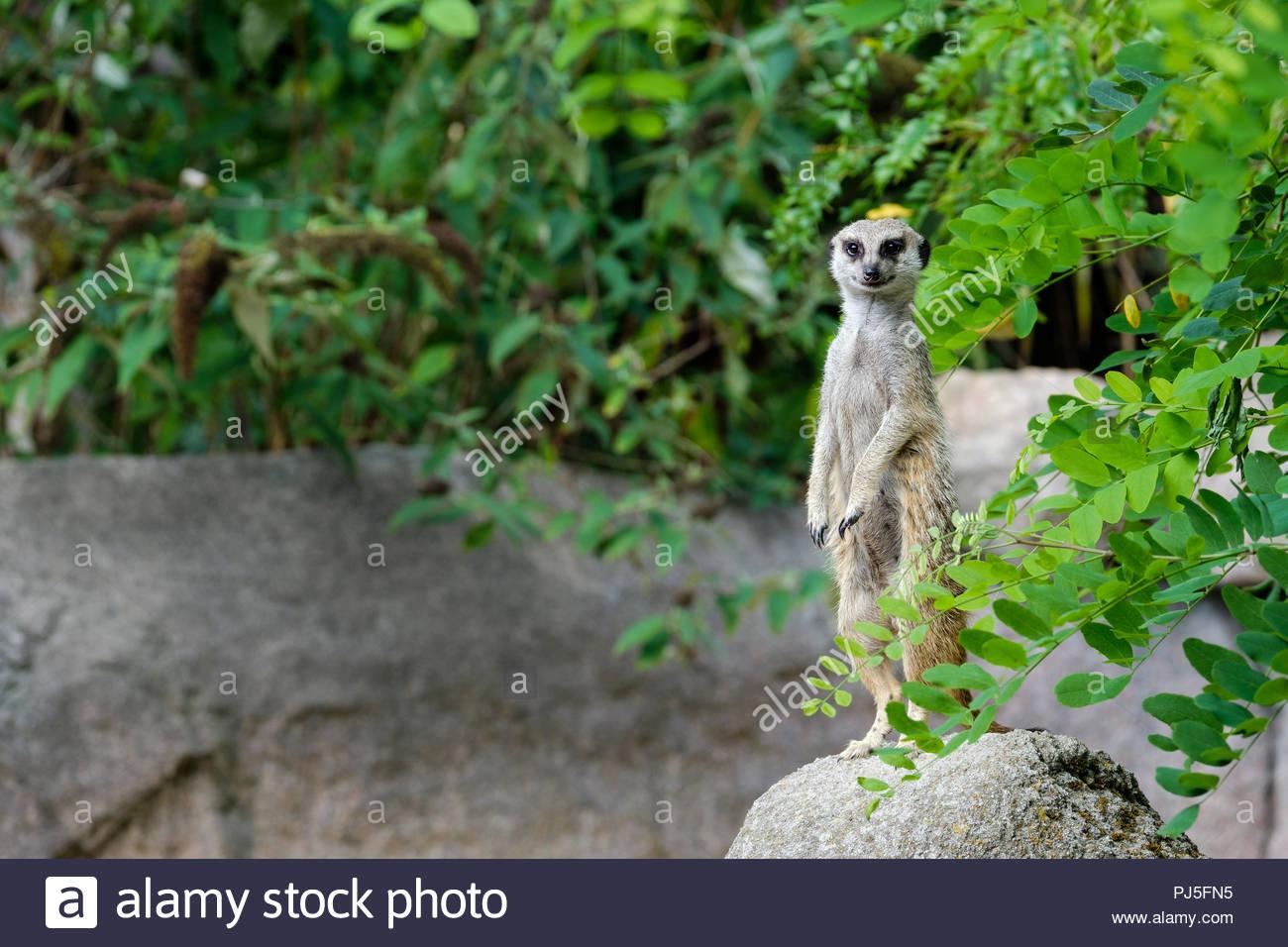 Ein Erdmännchen auf der Suche. Stockbild