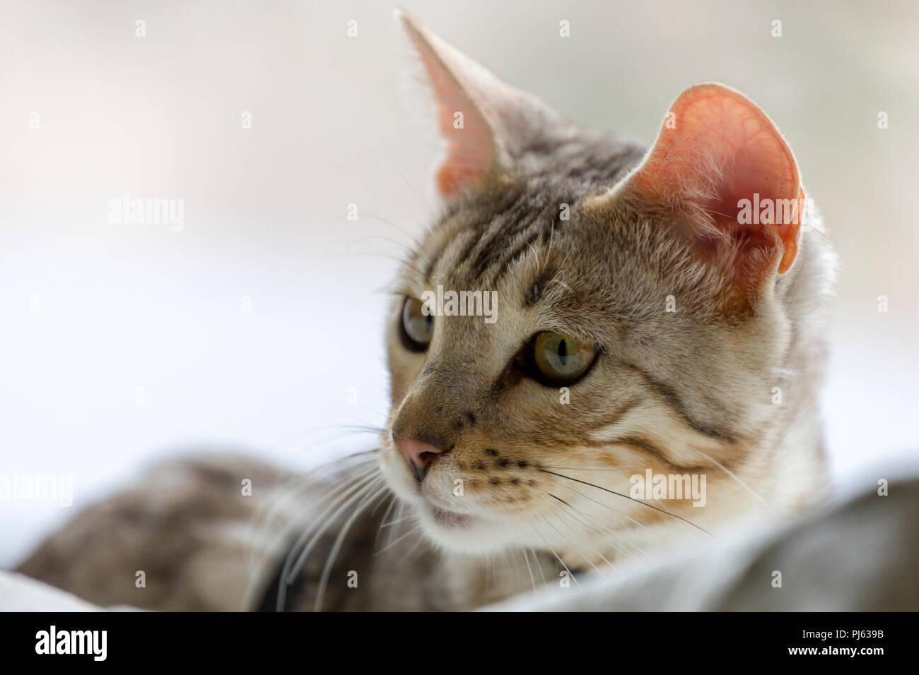 Schönen männlichen silver Bengal kitten indoor Porträt an ungefähr 6 Monate alt Stockbild