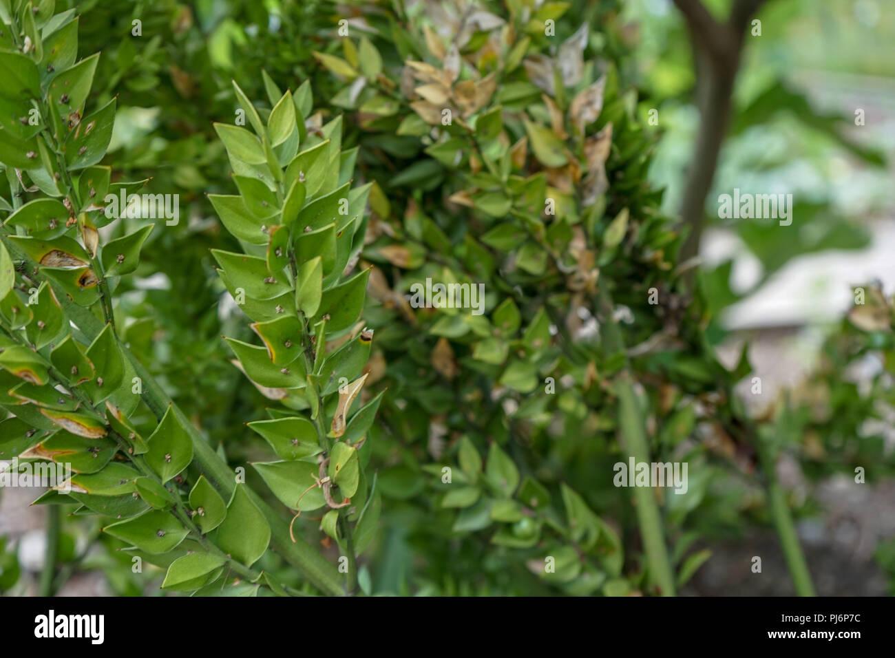 Immergrüne Pflanze, Ruscus aculeatus auch Metzger Besen namens Stockbild