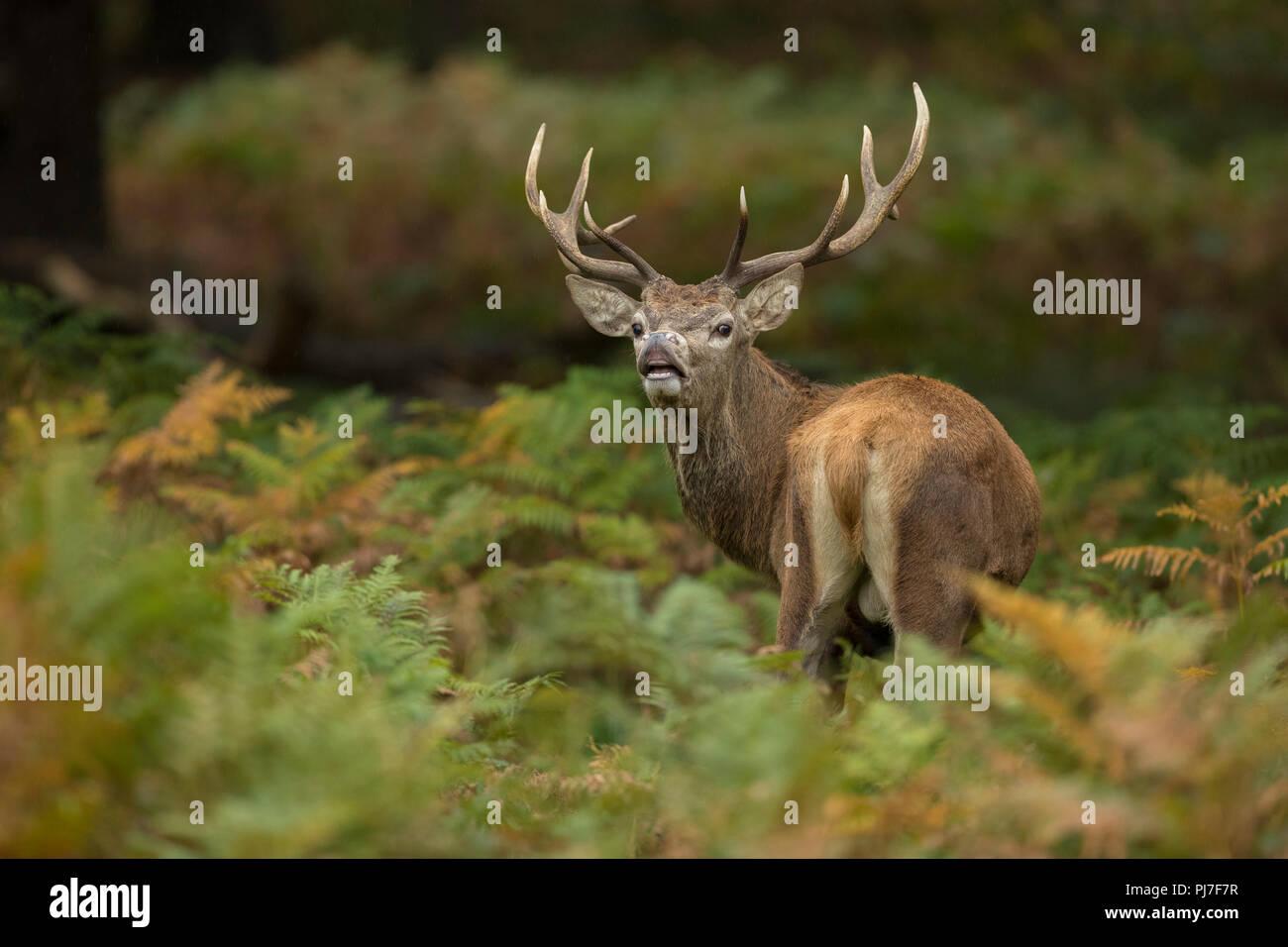 Red Deer; Cervus elaphus Single Hirsch; Verkostung der Richmond Park, London, UK Stockbild