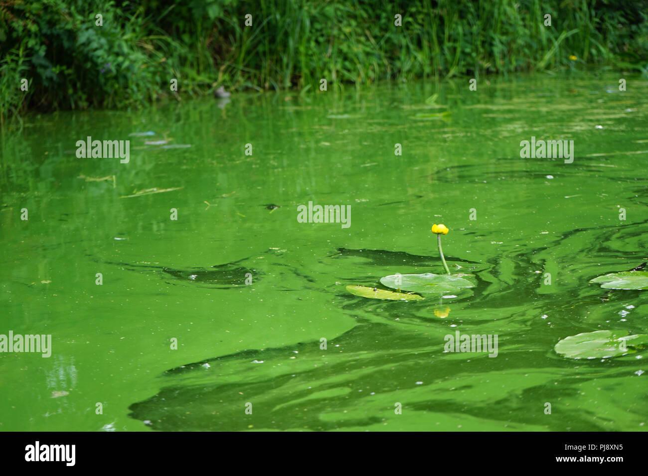 Grünalgen oder Chlorobionta, Gelbe Teichrose (Nuphar lutea) im Kanal von Klein-Venedig, Berlin, Deutschland Stockbild