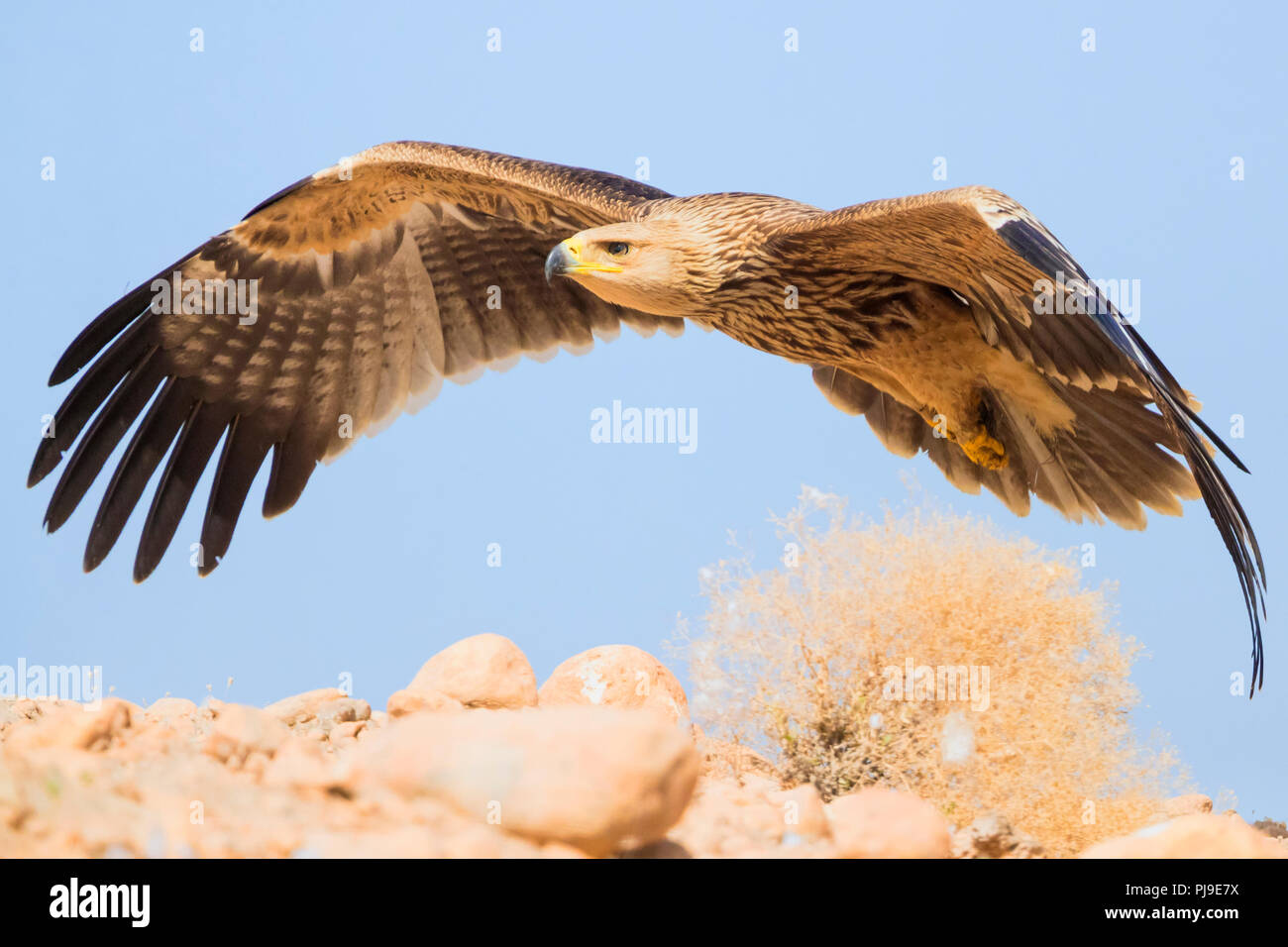 Östliche Kaiseradler (Aquila heliaca), juvenile im Flug Stockbild