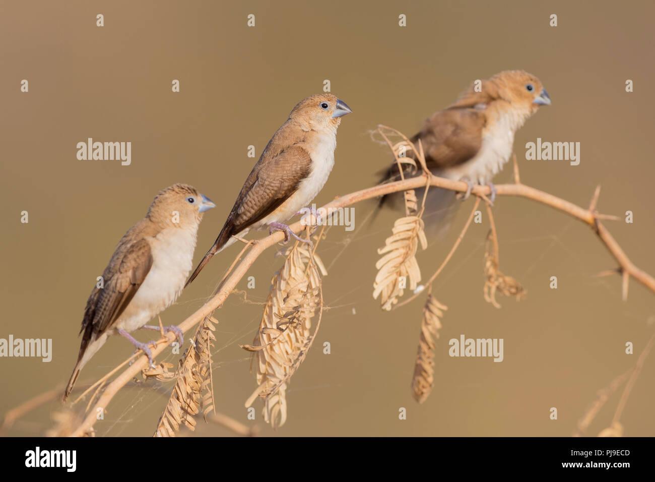 Afrikanische Silverbill (Euodice cantans bezeichnet), kleine Herde auf einem Ast sitzend Stockbild