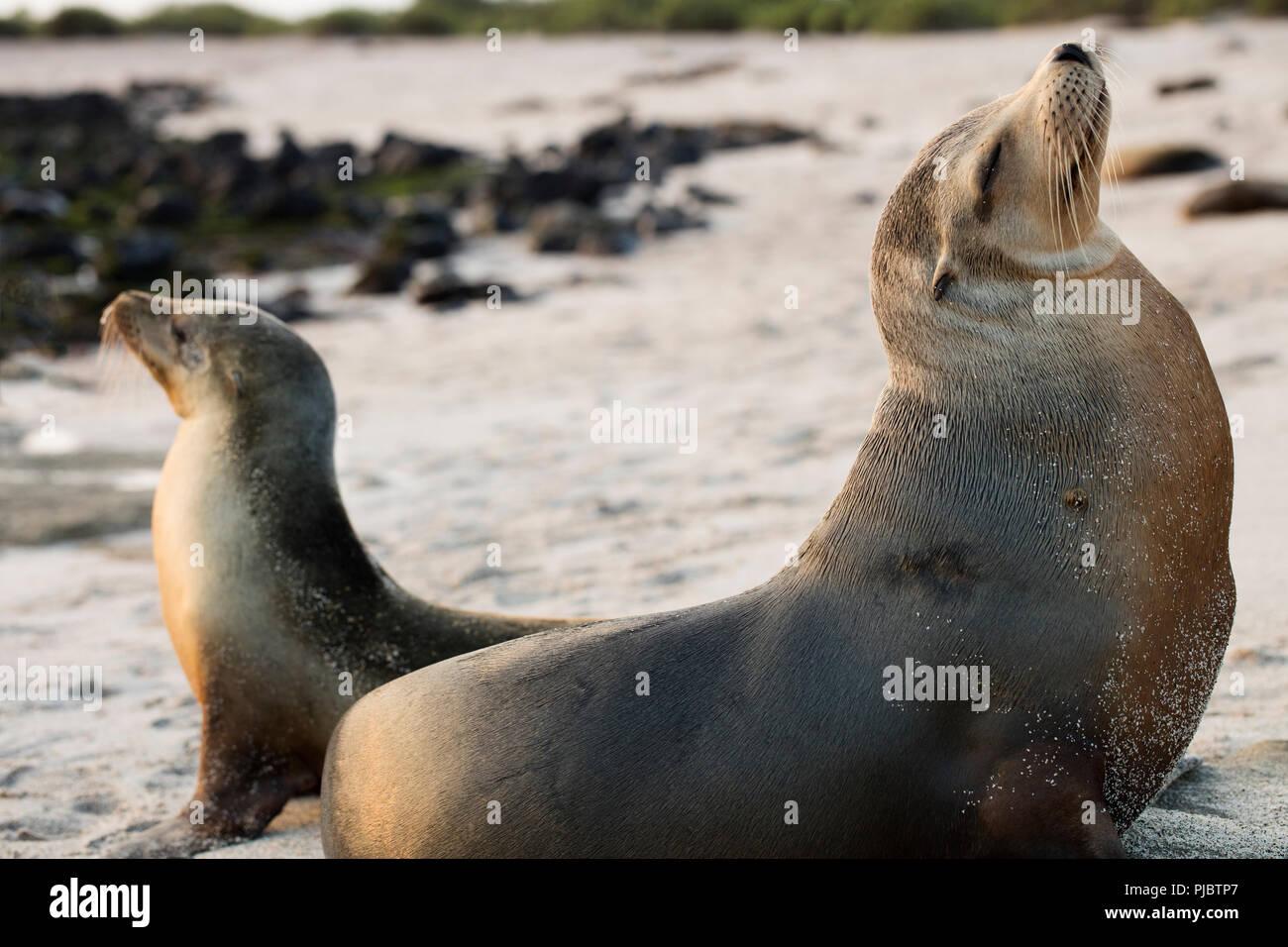 Mit Blick auf den gegenüberliegenden Seiten. Ein Paar von Galapagos Seelöwen am Strand in San Cristobal, Galapagos, Ecuador Stockbild