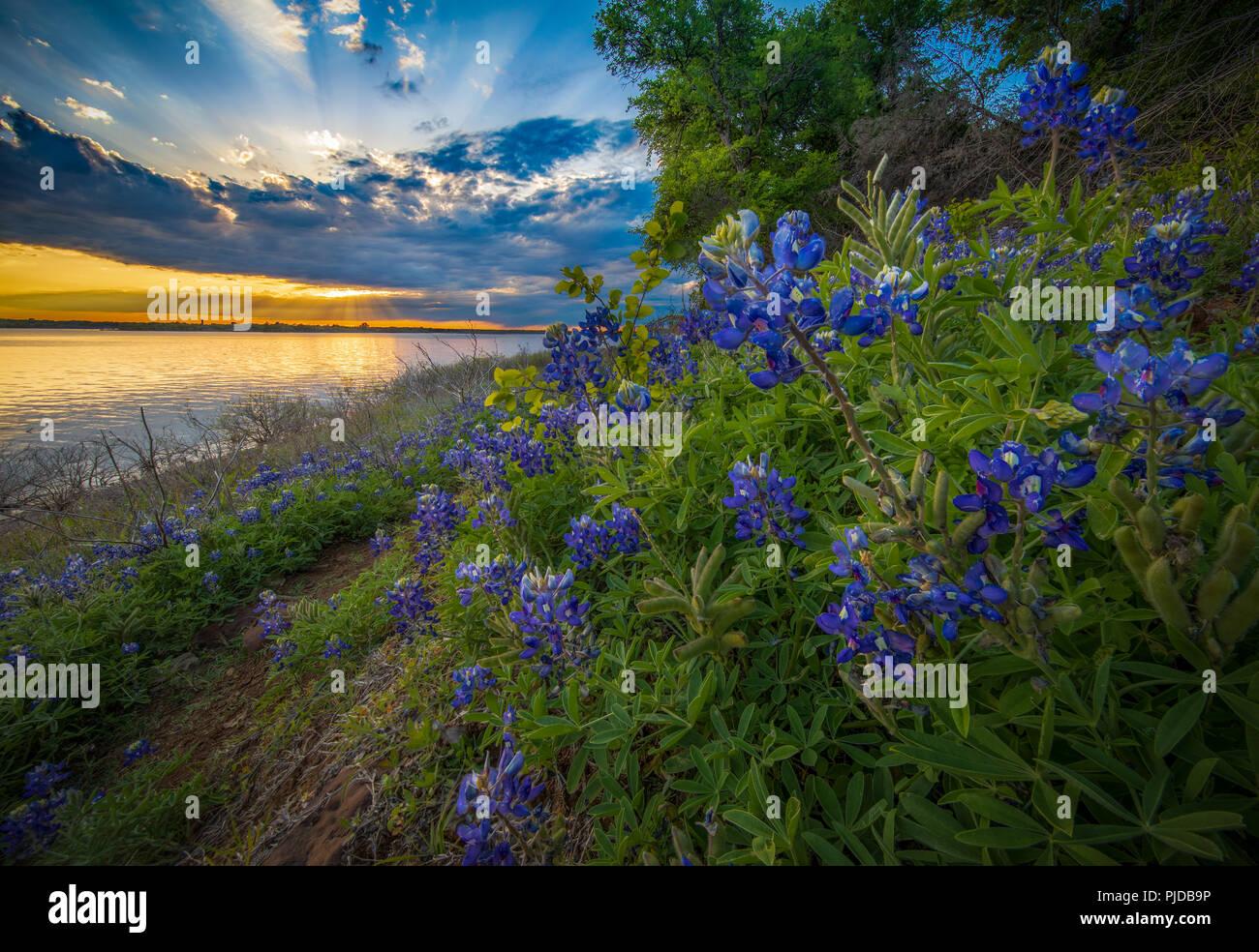 Bluebonnets in Grapevine See im Norden von Texas. Lupinus texensis, die Texas bluebonnet, ist eine Art von Lupine endemisch in Texas. Stockbild