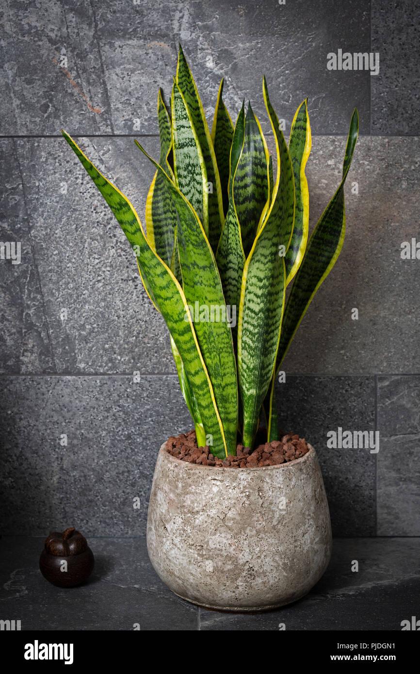In einem zen Interieur, eine Sansevieria trifasciata (Asparagaceae ...