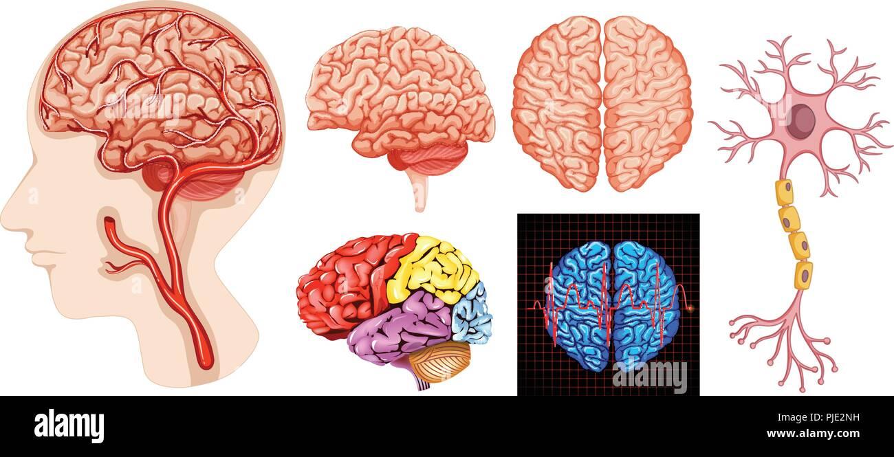 Die menschliche Anatomie des Gehirns medizinisch-technische ...