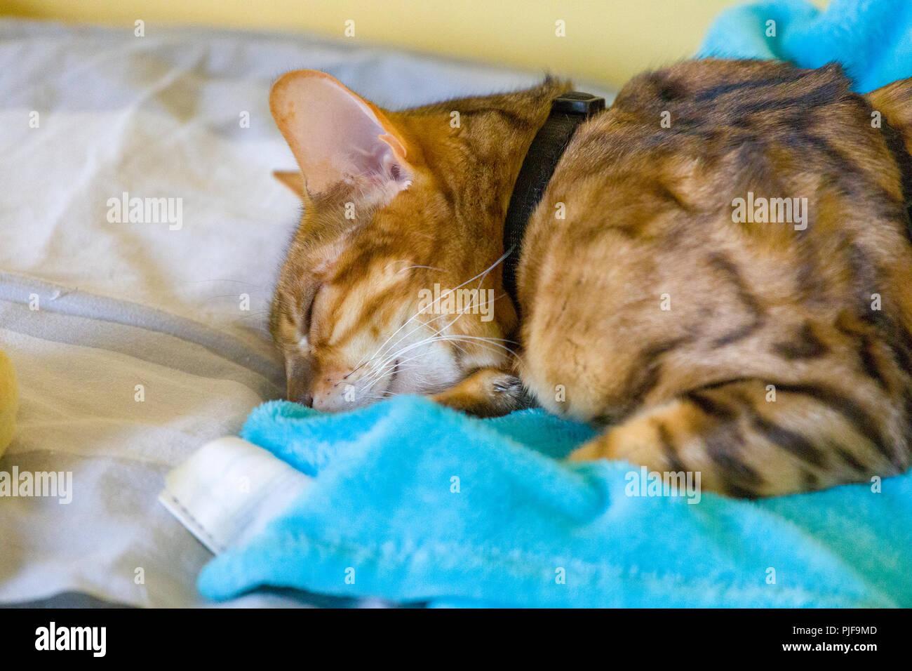 Nahaufnahme der erwachsenen weiblichen Bengal Katze friedlich schlafend auf dem Bett Stockbild