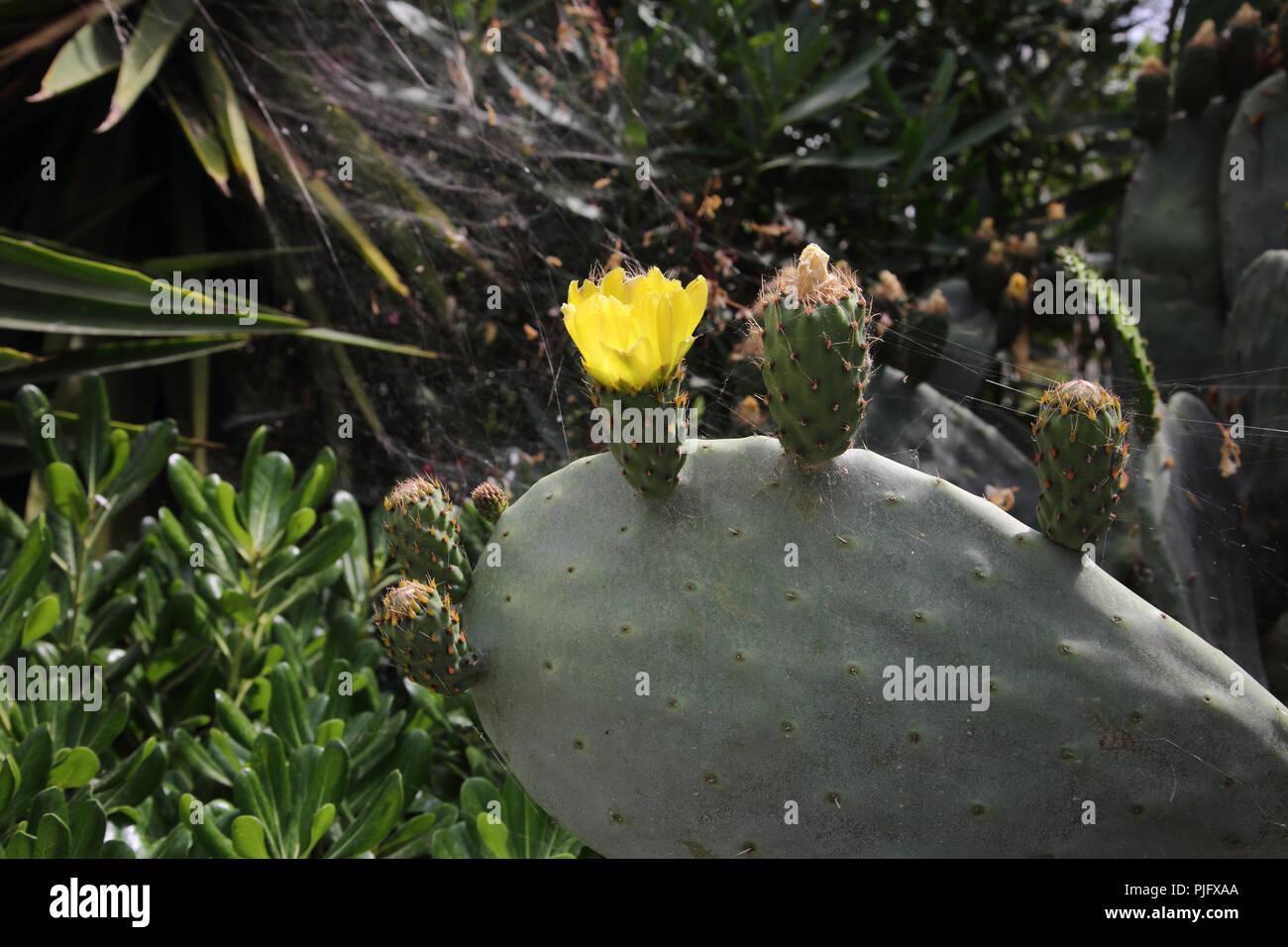 Vouliagmeni ATTIKA Griechenland Nahaufnahme einer Blüte indischen Bild Kaktus (Opuntia Ficus-Indica) Stockbild