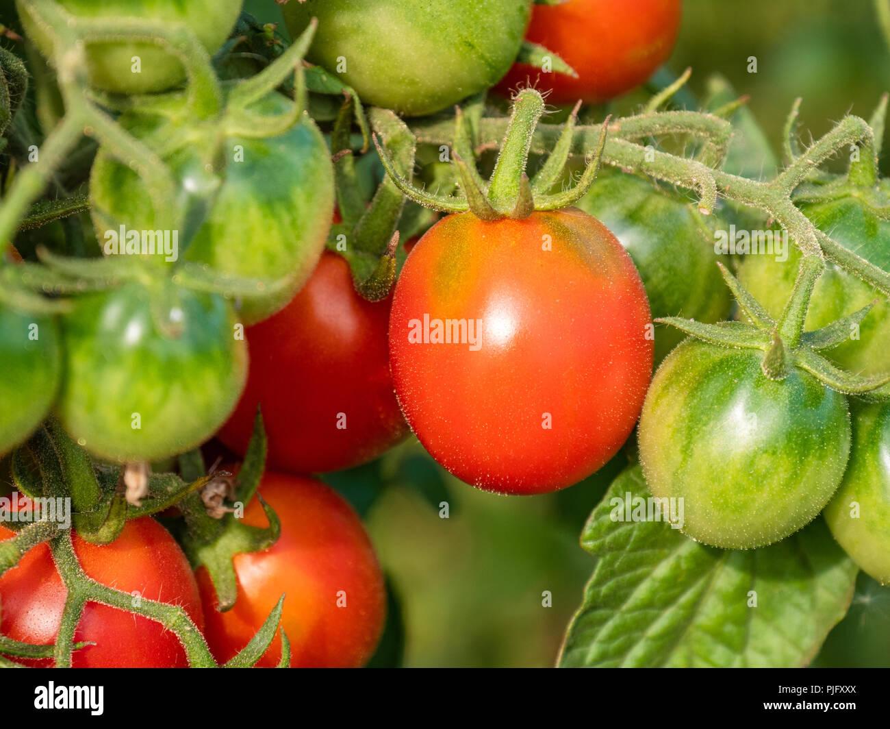 Rote und grüne Tomaten im Garten Stockfoto