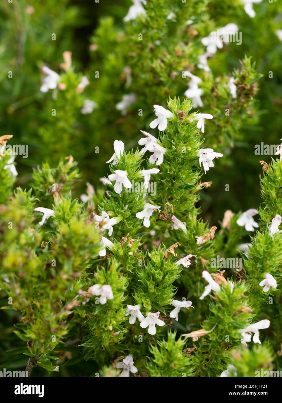 Weiße Blumen unter den semi-Evergreen Wachstum der immerwährenden Winter-bohnenkraut Kraut, satureja Montana Stockbild