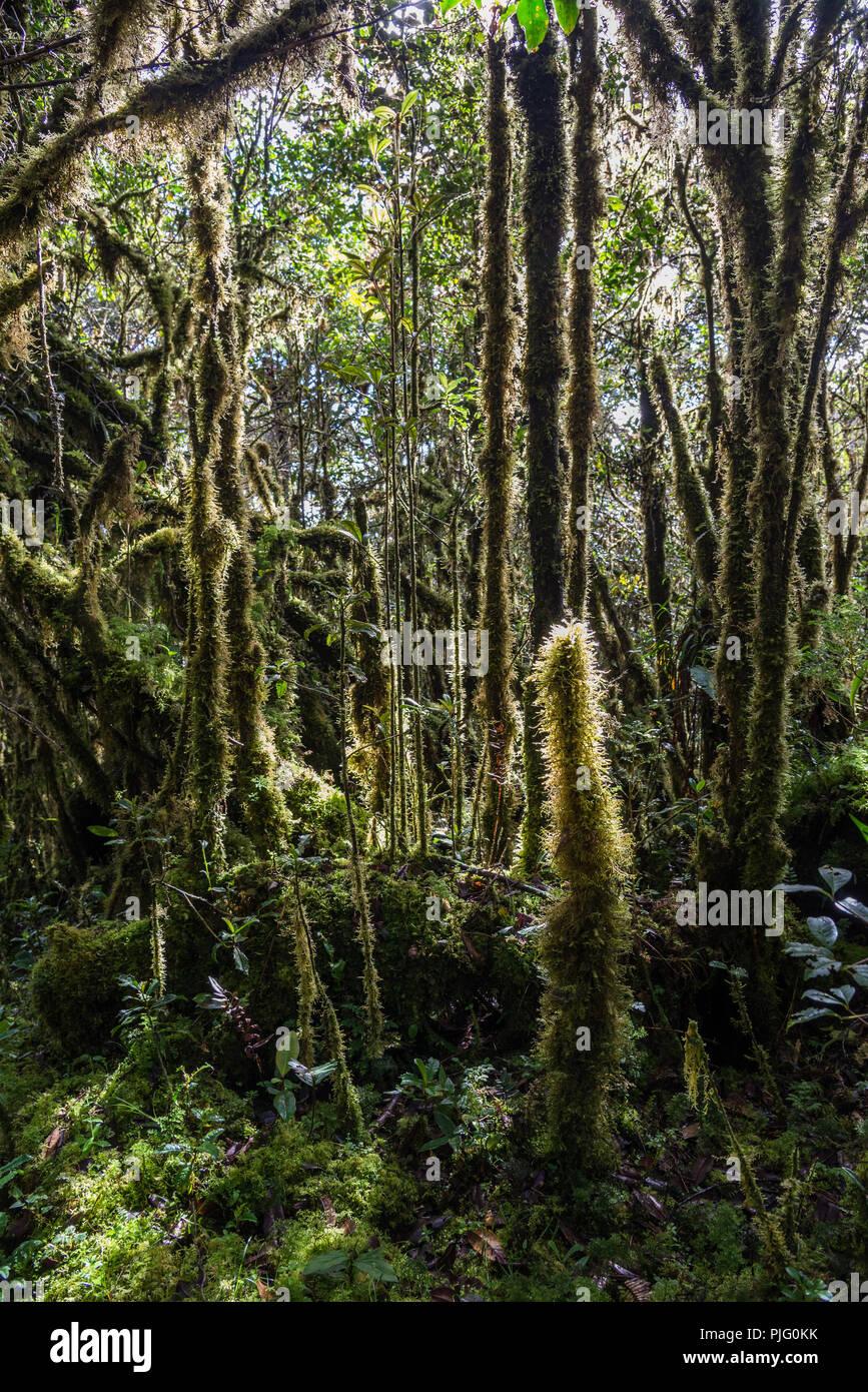 Grüne Moos bedeckt Bäume im Bergwald der zentralen Bereich der Insel Neuguinea. In Papua, Indonesien. Stockbild