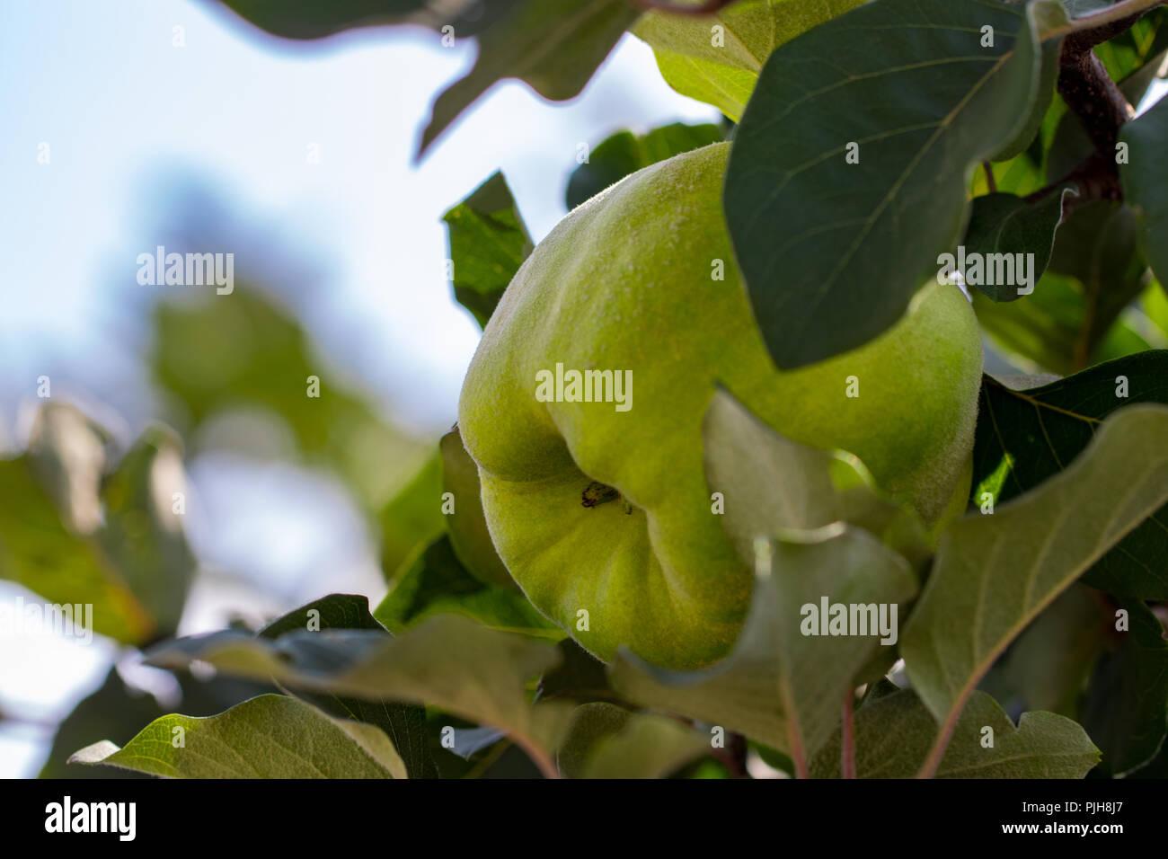 Große Gelbe Früchte Quitte Auf Dem Baum Sind Bereit Zu Ernten