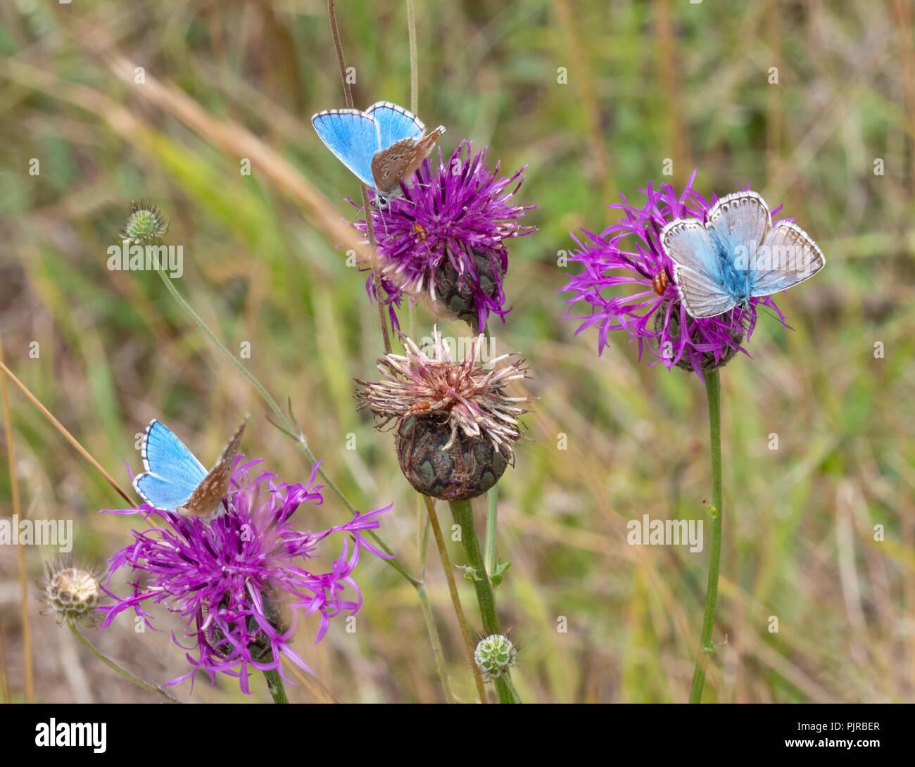 Zwei Adonis blauer Schmetterling Männer und eine chalkhill Blue männlich an einem Butterfly Conservation Reserve auf Jura Kalkstein in Gloucestershire, Großbritannien Stockbild