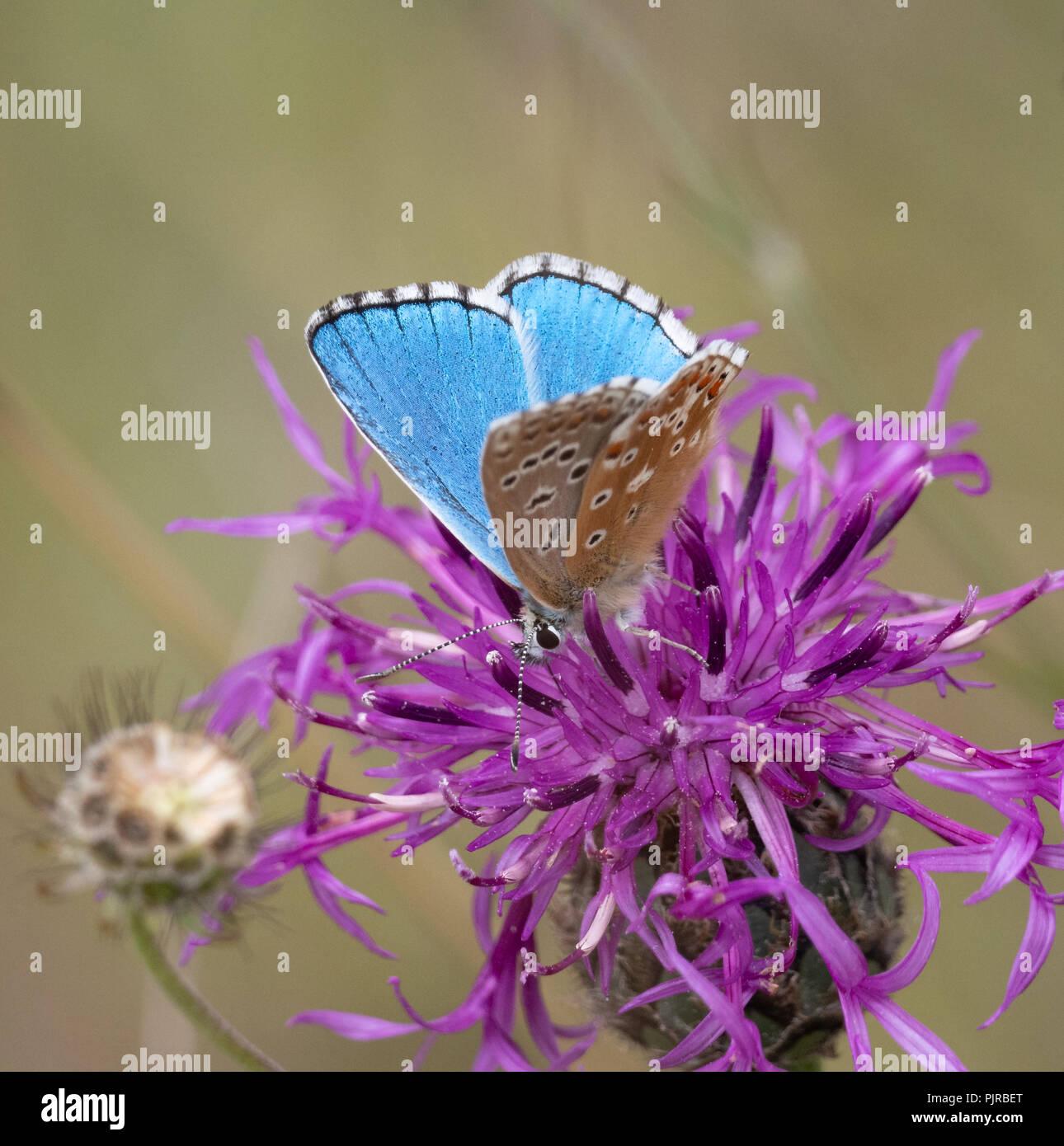 Adonis blue butterfly Polyommatus bellargus männlichen Erwachsenen an einem Butterfly Conservation Reserve auf Jura Kalkstein in Gloucestershire, Großbritannien Stockbild