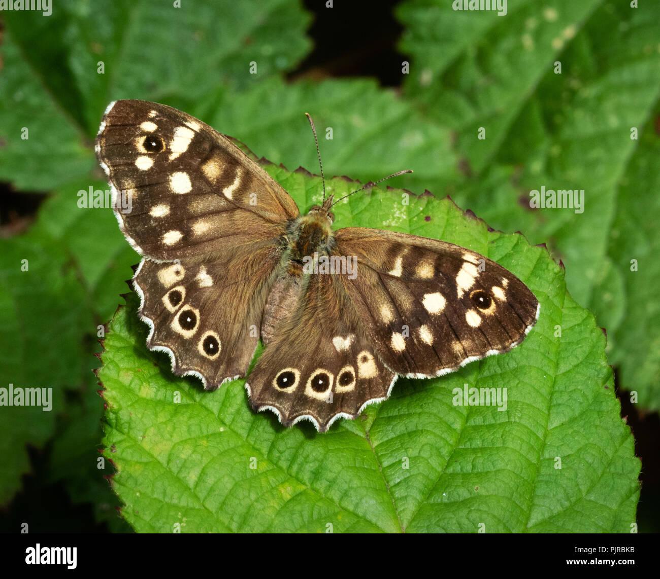 Imago Der hauhechelbläuling Schmetterling Pararge aegiria auf dornbusch Blatt - braun UK Form Stockbild