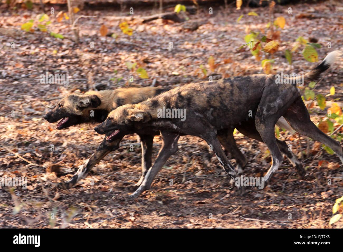 Die Alpha Männchen und Weibchen der Siwandu pack. Das Weibchen ist displayin der männlichen zu machen das Pack für eine Jagd, während Sie bleibt an der Höhle vorbereiten Stockbild