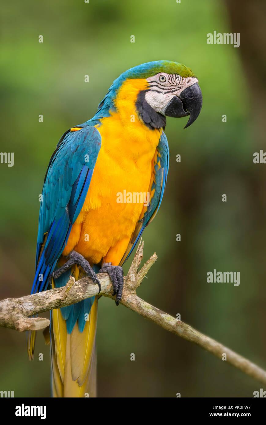 Blau-gelbe Ara-Ara ararauna, großen wunderschönen bunten Papagei aus Südamerika Die Wälder und sonstigen Flächen. Stockbild