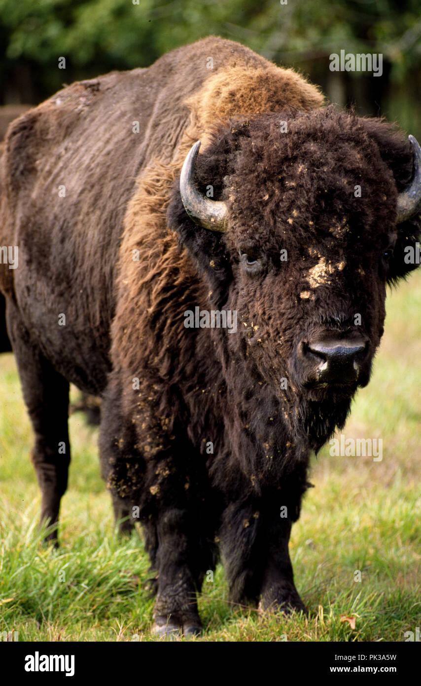 Büffel neuen Yuork-Haken