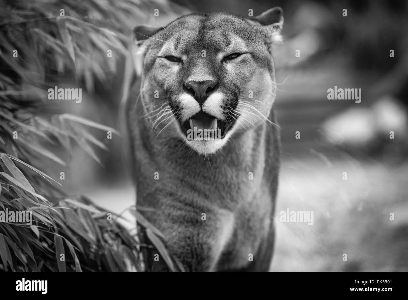 Schwarz & Weiß Puma Stockfoto, Bild: 218316561 Alamy