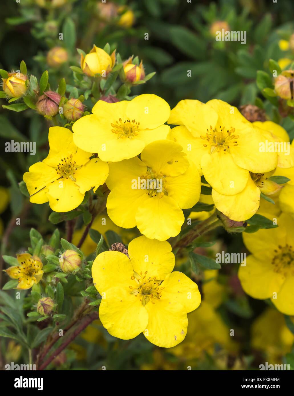"""Die potentilla fruticosa 'ommerflor (AKA strauchigen Cinquefoil ommerflor'S""""), eine gelbe buschige sommergrüne Strauch im frühen Herbst in West Sussex, England, UK. Stockfoto"""