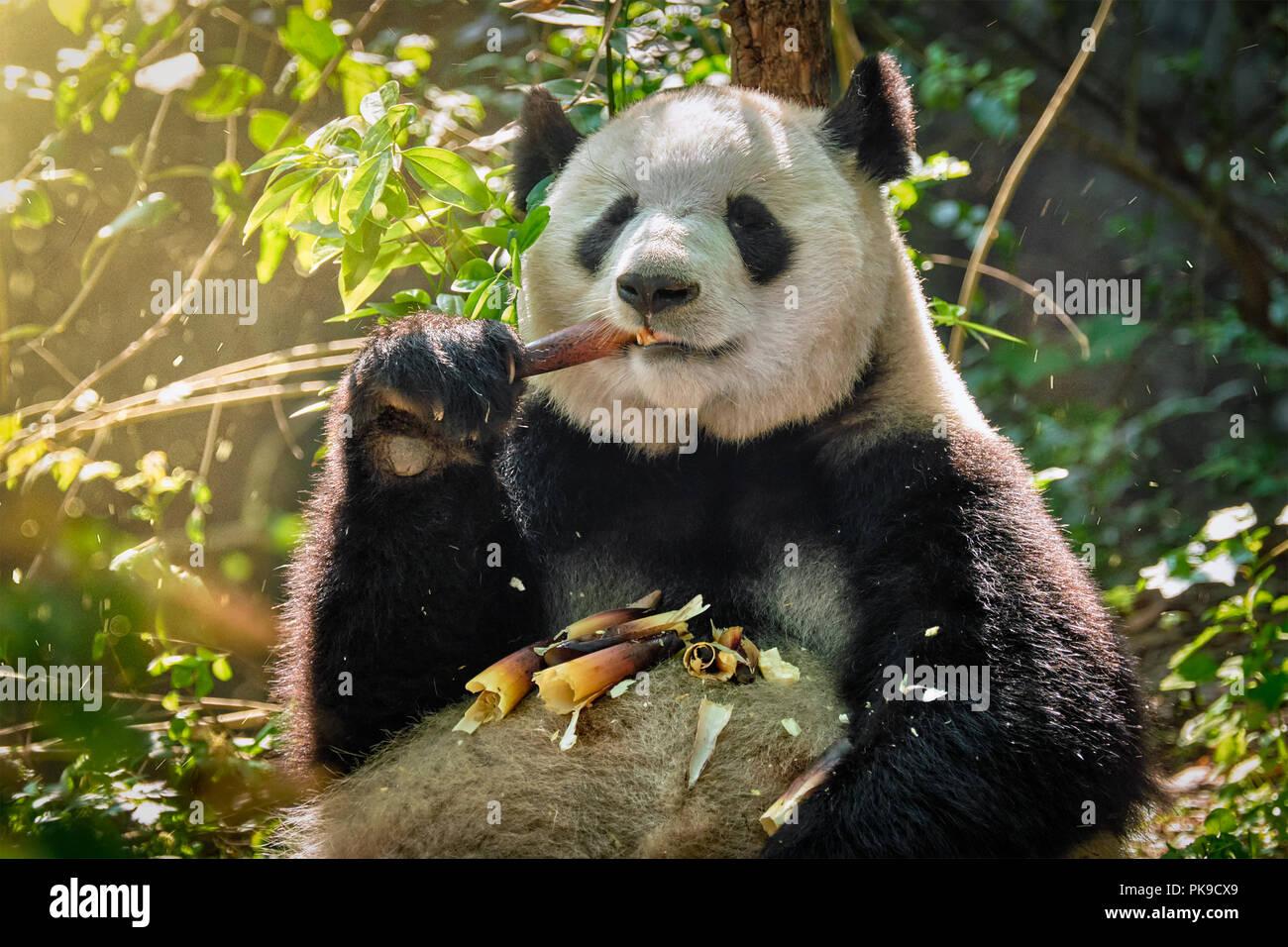 Panda Bären in China Stockbild