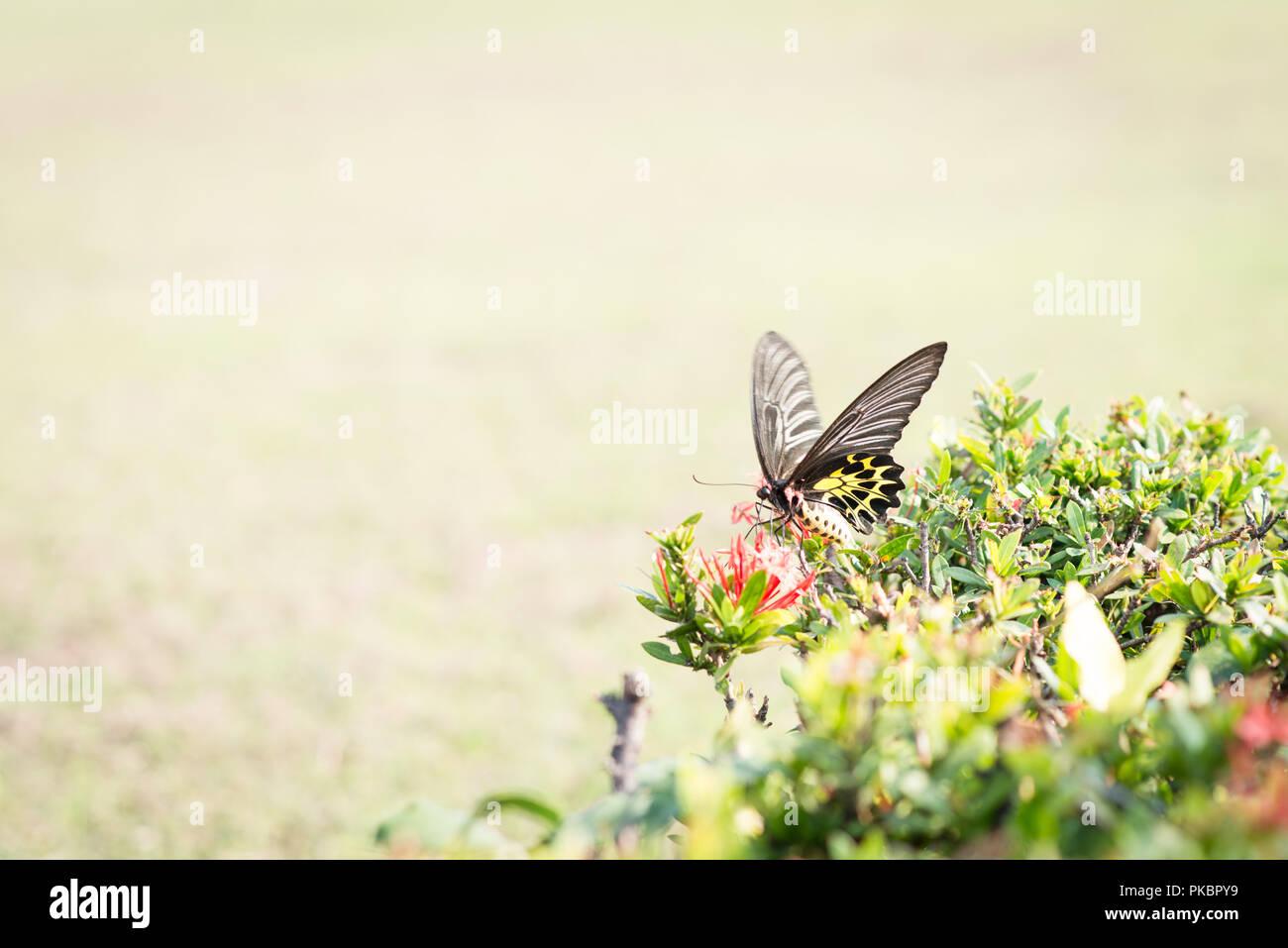 Gelben Schmetterling thailand Stockbild