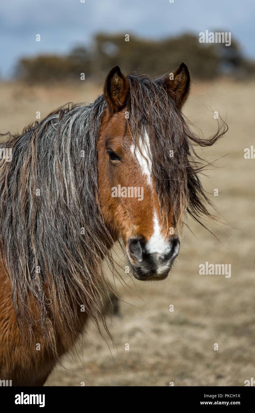 Lange Unbewachtes wilden Moorlandschaften Pony Stockbild