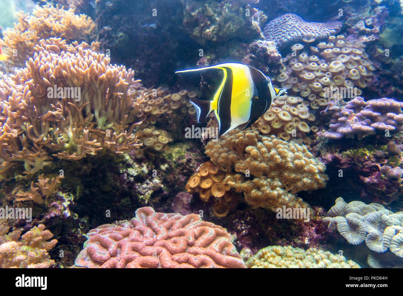Wunderbare und schöne Unterwasserwelt mit Korallen und tropischen Fischen. Stockbild