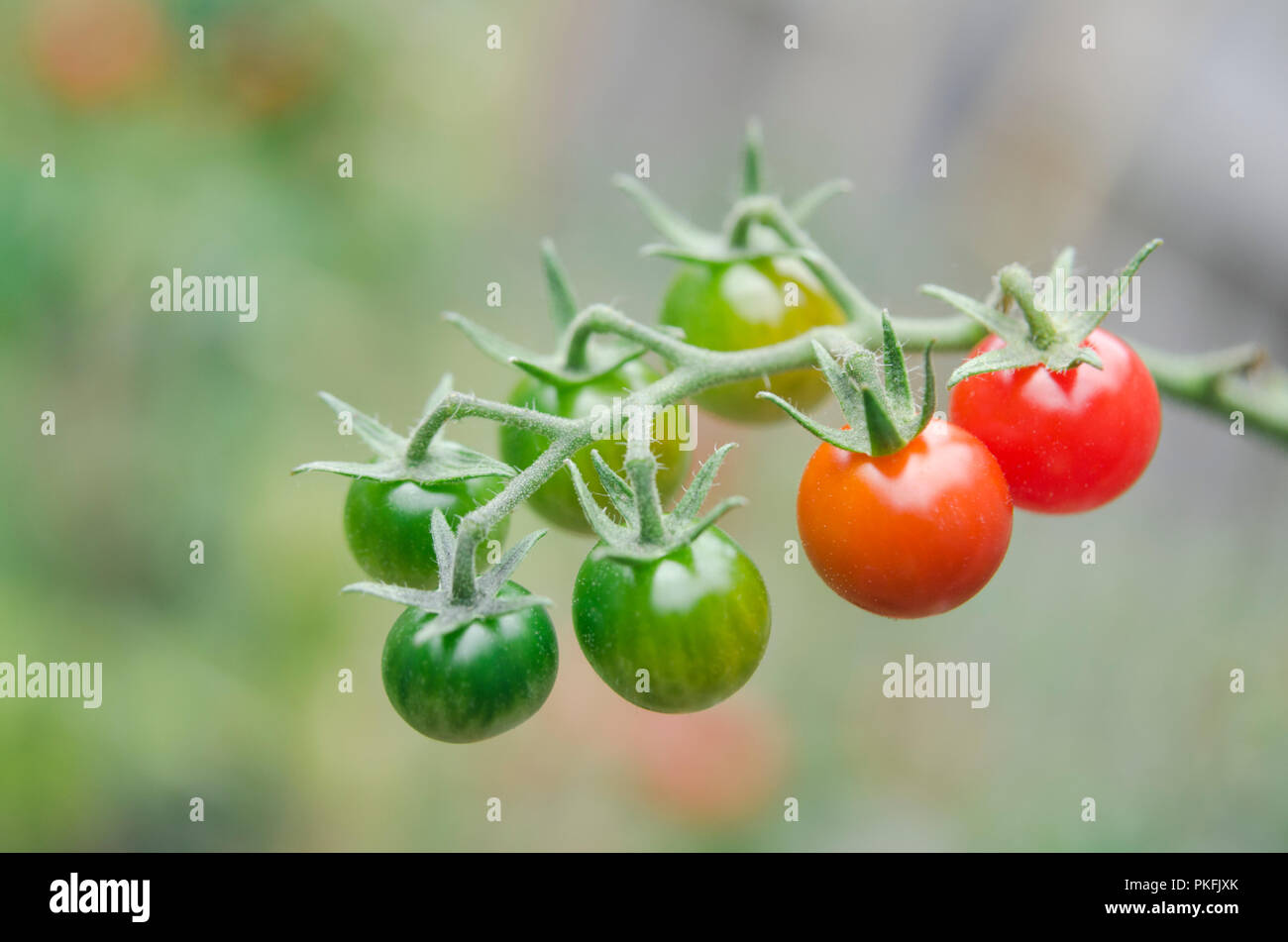 Berühmt Cherry-Tomaten Reifen am Rebstock Stockfoto, Bild: 218547019 - Alamy &JT_18