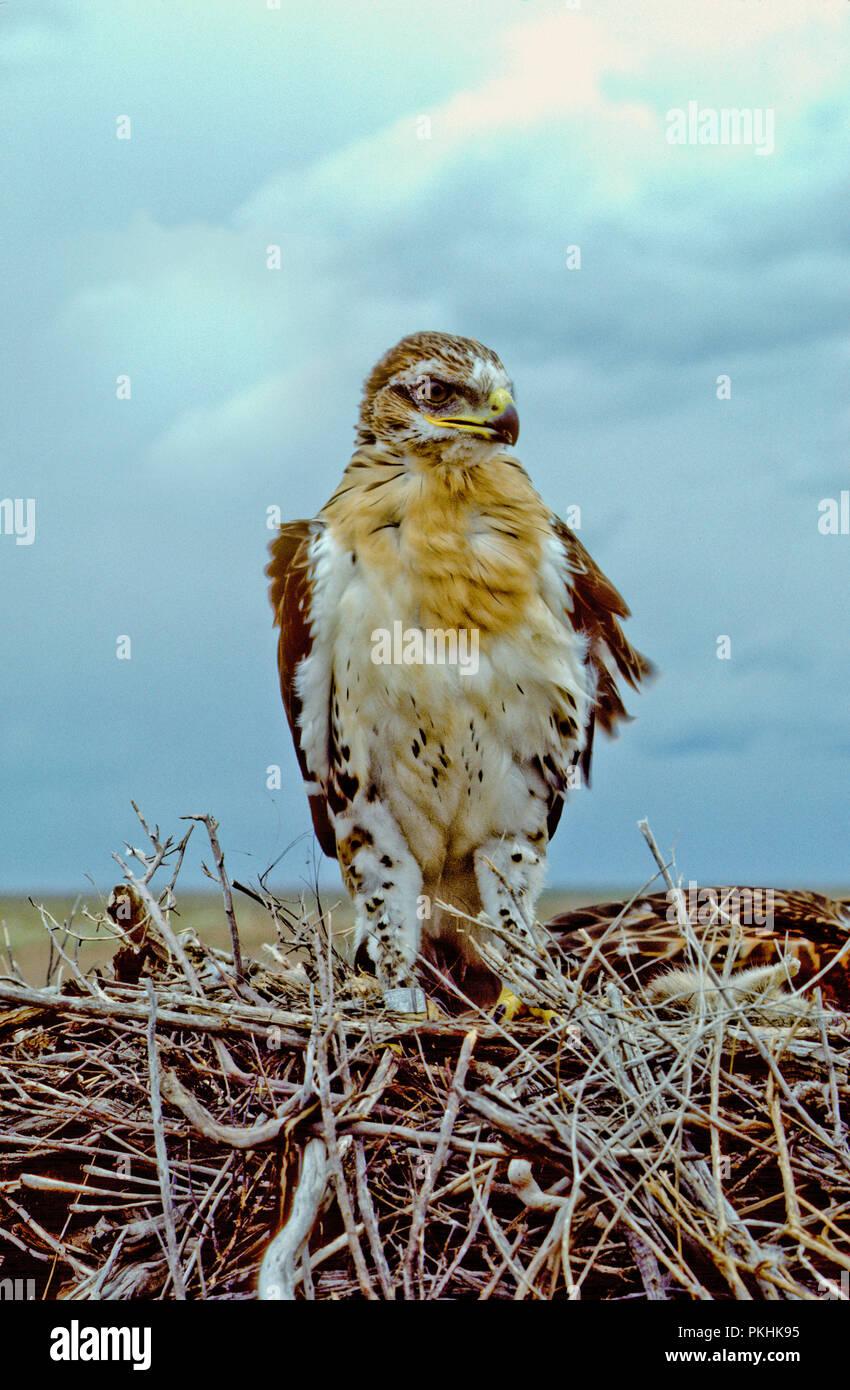 Juvenile eisenhaltigen Hawk (Buteo regalis) im Nest im Morley Nelson Snake River Greifvögel National Conservation Area, Idaho Stockbild