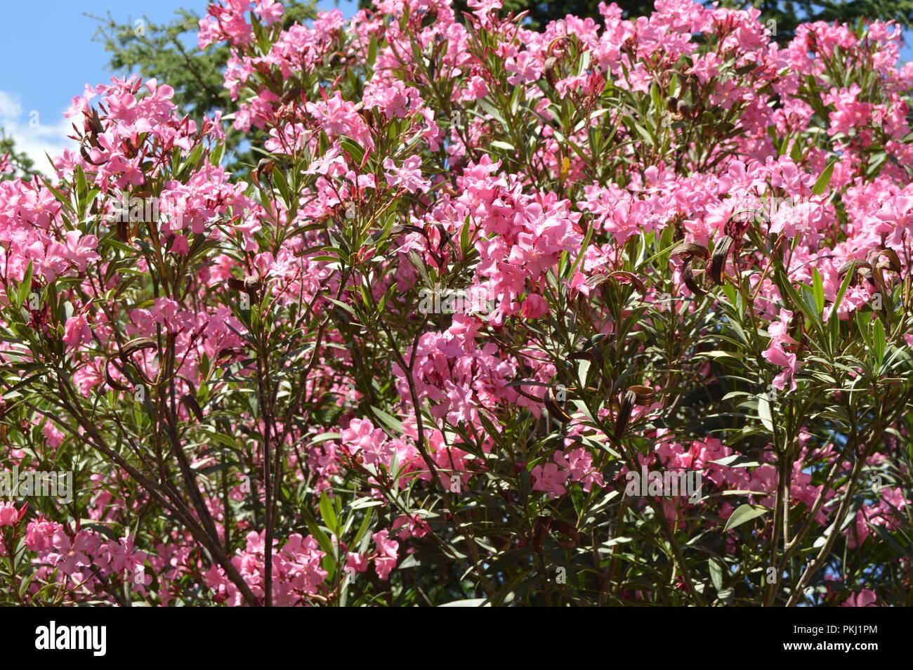 Rosa Oleander Nerium Strauch wächst in den tropischen Garten Stockfoto