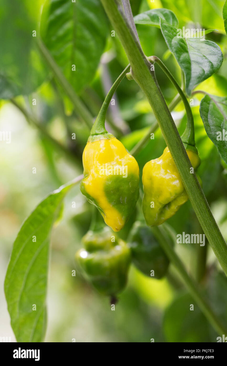 Capsicum chinense 'Gelbe holprigen' Obst. Stockbild