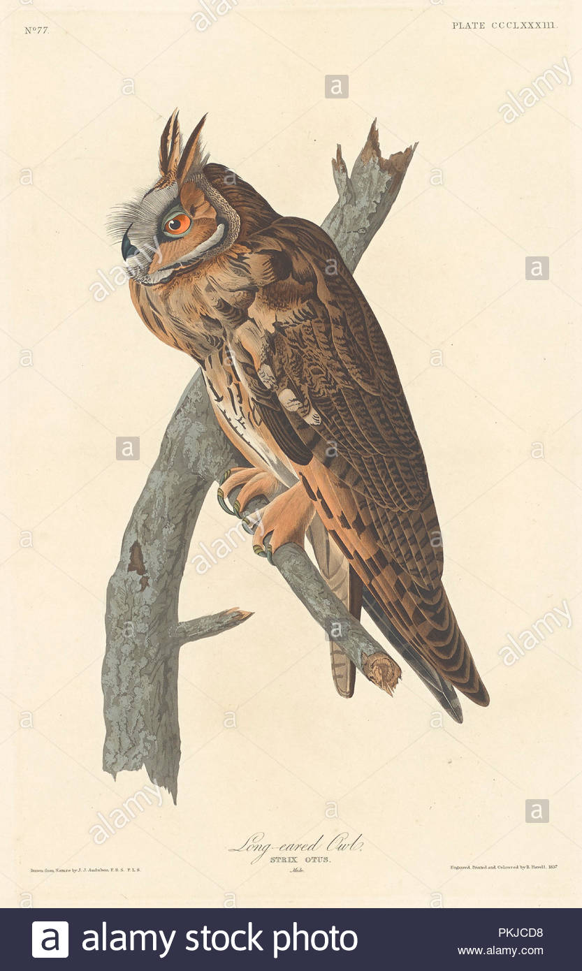 Waldohreule. Stand: 1837. Medium: Handcolorierte Radierung und Aquatinta auf Whatman Papier. Museum: Nationalgalerie, Washington DC. Autor: Robert Havell nach John James Audubon. Stockbild
