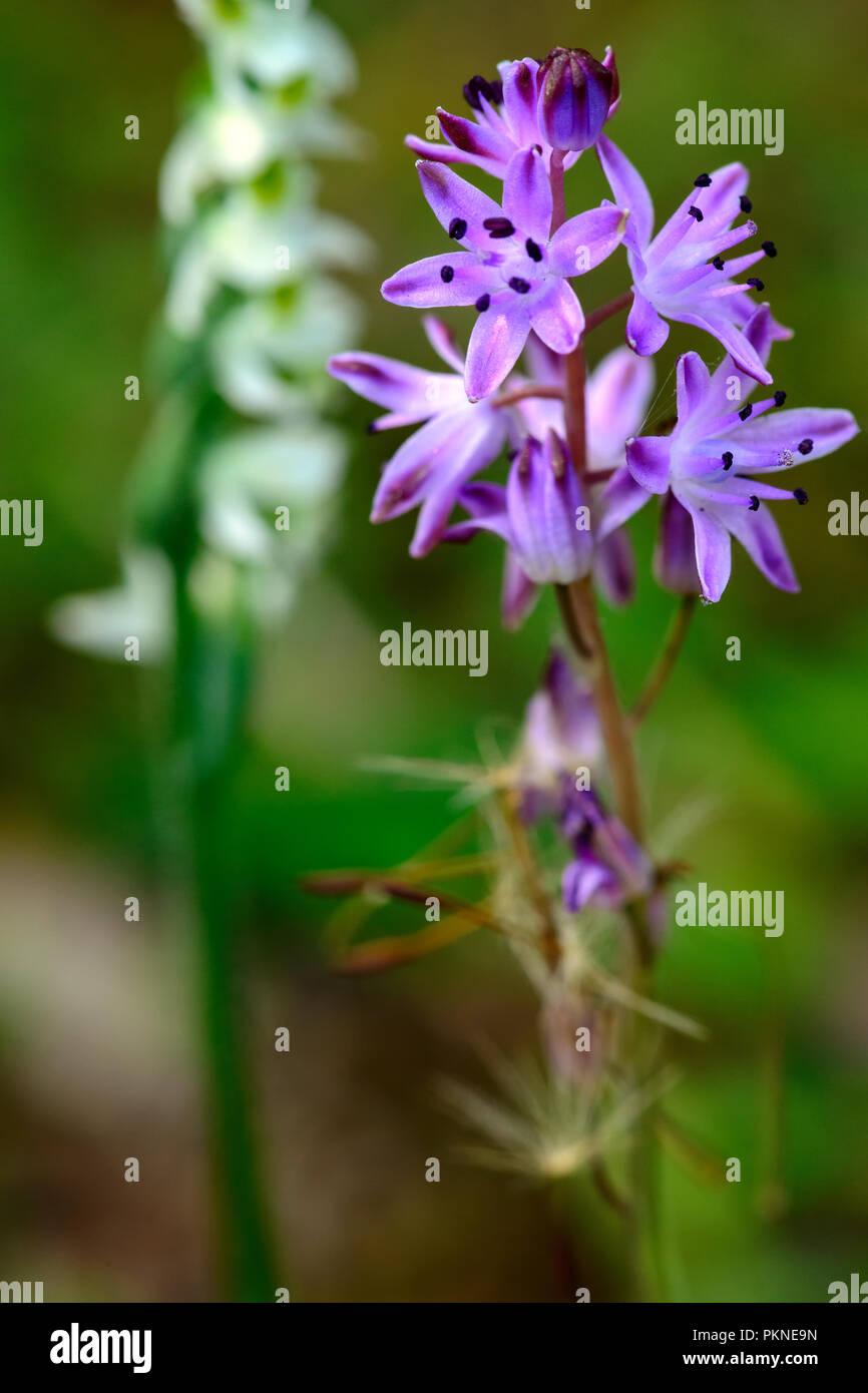 Prospero autumnale, den Herbst blausterne, ein Herbst Pflanze des Asparagaceae Familie. Sardinien Süd West, liegt im Mittelmeer. Stockbild