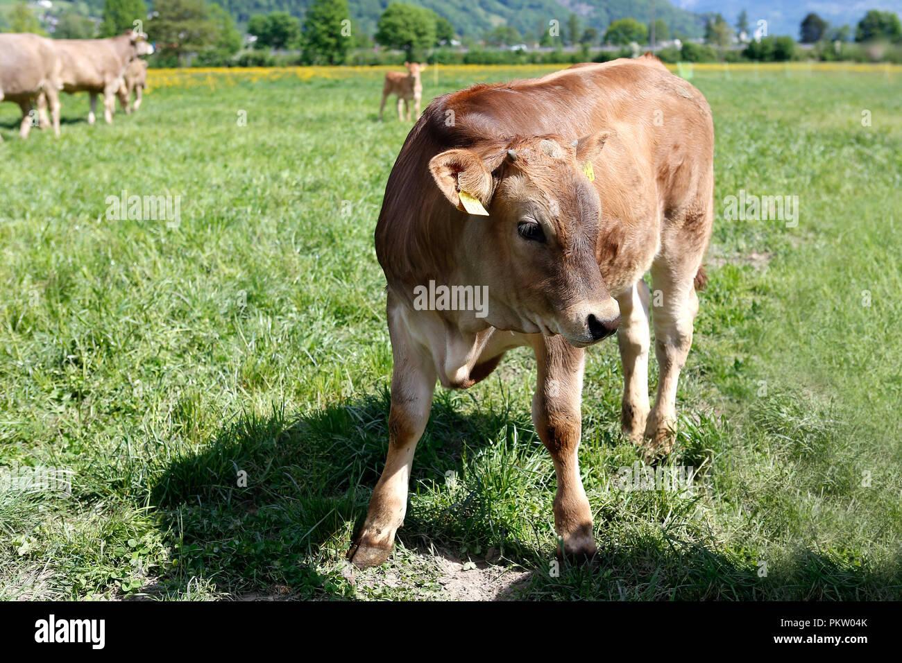Europa Schweiz Sarganser Land Wangs Gonzen - Kalb e morgens auf der Weide ein einem schönen Frühlingstag in der Schweiz Stockbild