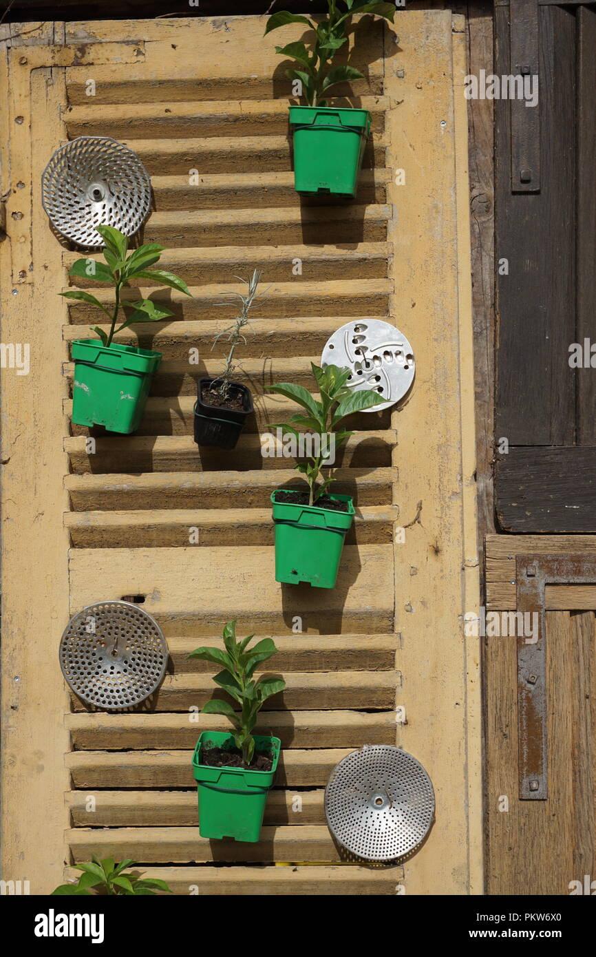 Spaß und die andere Art der Verzierung eines Holz Shutter mit Live grünen Topfpflanzen und Kochutensilien Stockbild