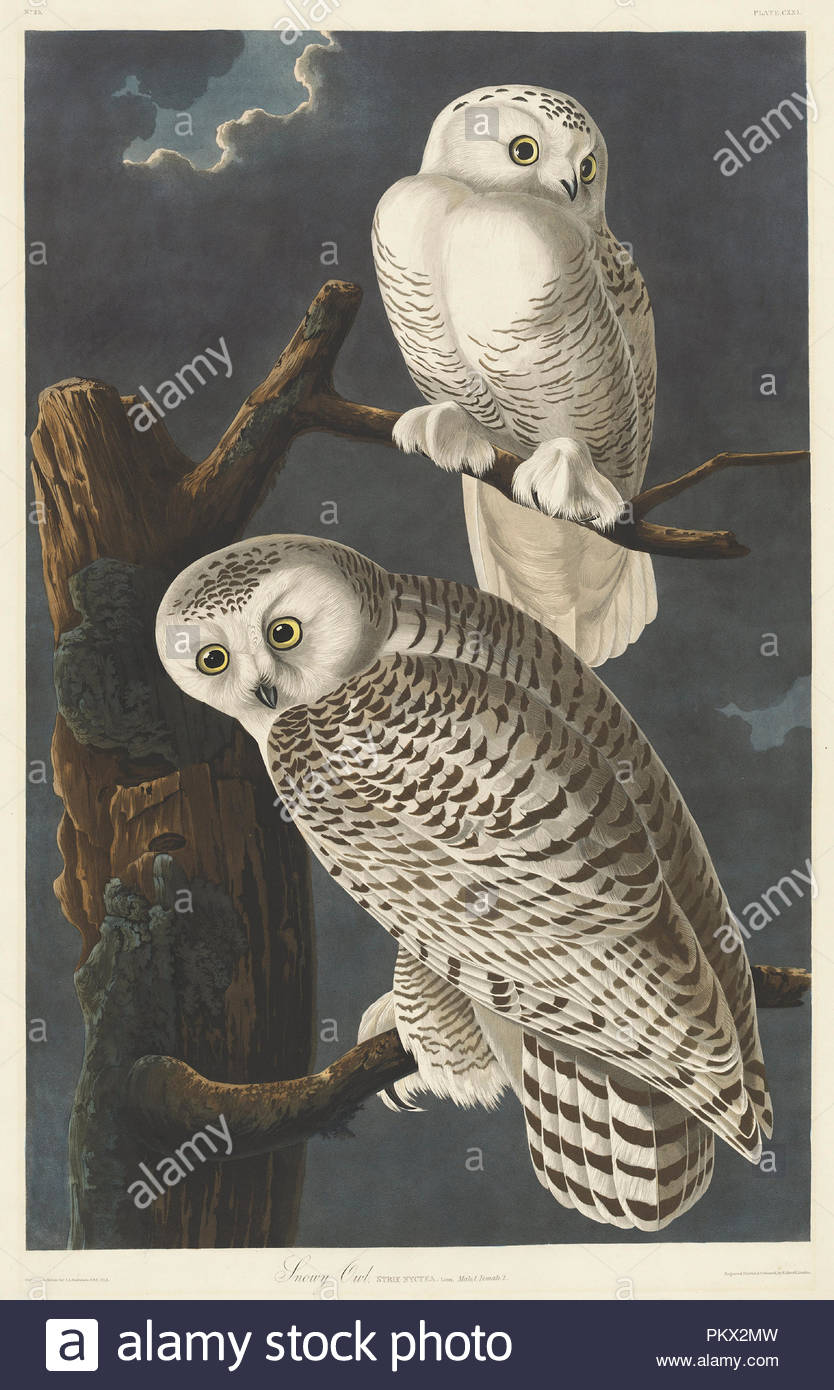 Snowy Owl. Stand: 1831. Abmessungen: Platte: 89,5 x 65,4 cm (35 1/4 x 25 3/4 in.) Blatt: 100,7 x 68 cm (39 5/8 x 26 3/4 in.). Medium: Handcolorierte Radierung und Aquatinta auf Whatman Papier. Museum: Nationalgalerie, Washington DC. Autor: Robert Havell nach John James Audubon. John James Audubon. ROBERT HAVELL DER JÜNGERE. Stockbild
