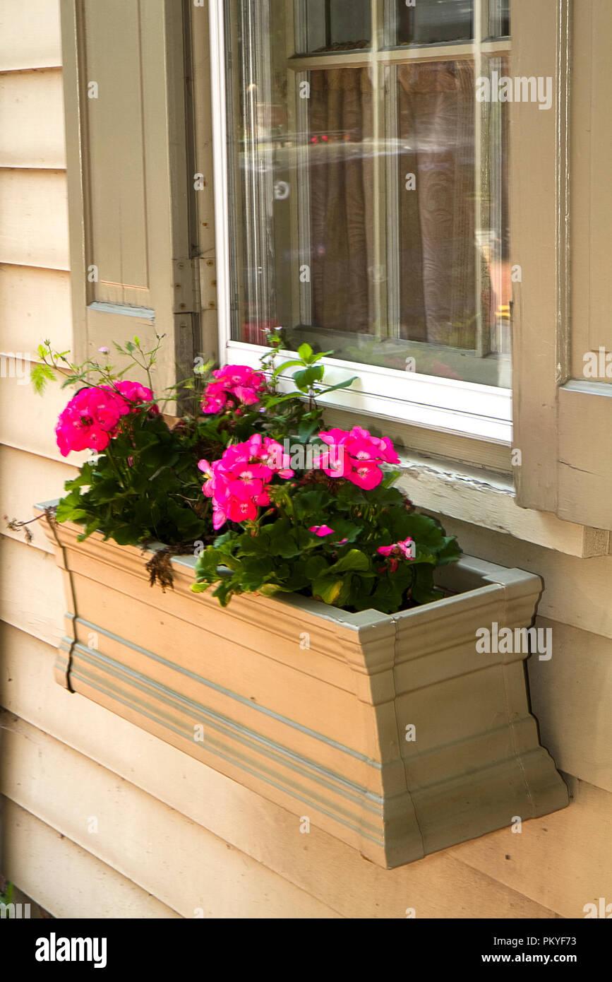 Holz Blumenkasten am Fenster mit rosa Geranien, in das er gepflanzt ...