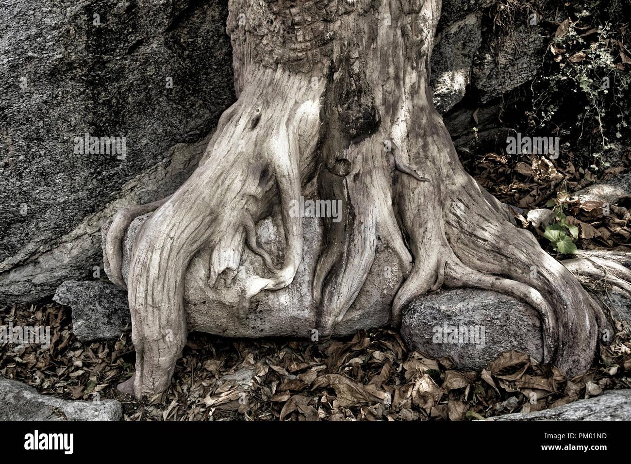 Freiliegende Baumwurzeln. Versteinertes Holz Struktur zu Stein als ein natürliches Phänomen. Stockbild