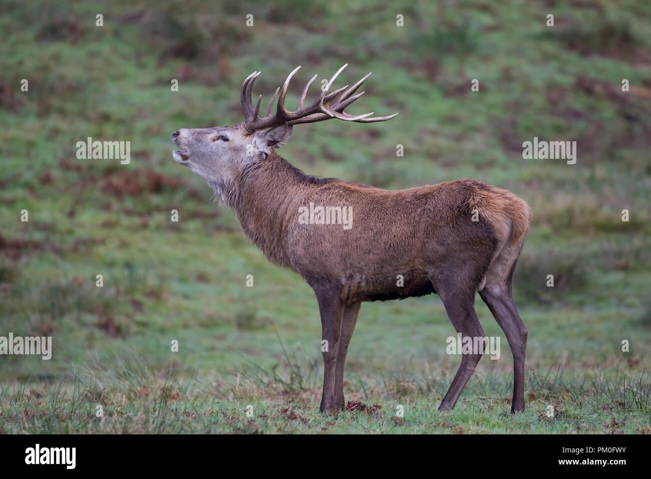 Männlichen Rothirsch Cervus elaphus mit prächtigen Geweih Aufruf im Herbst Stockbild