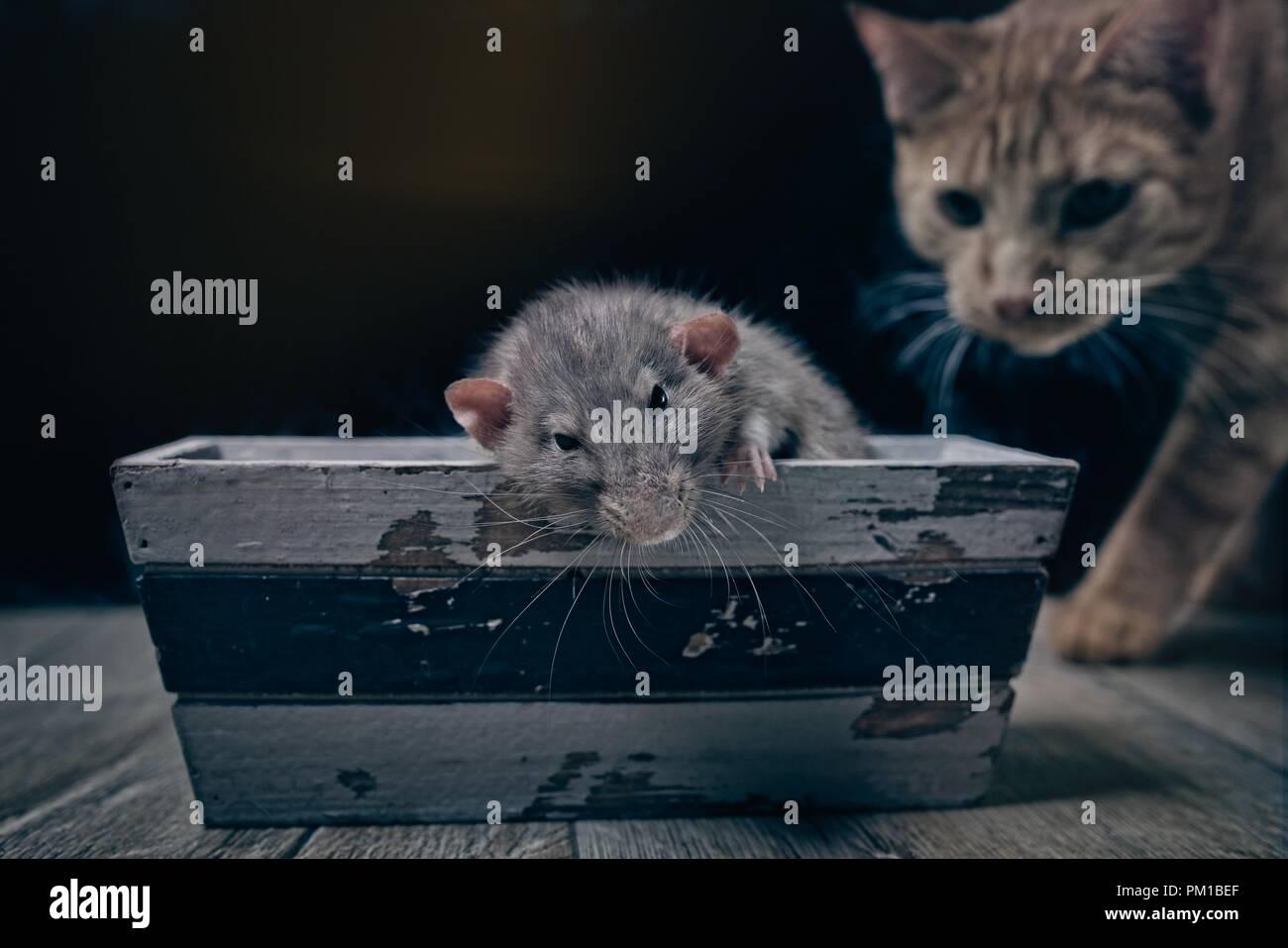 Spielen Katz und Maus. Tabby Katze schauen neugierig zu einem Nagetier. Stockbild