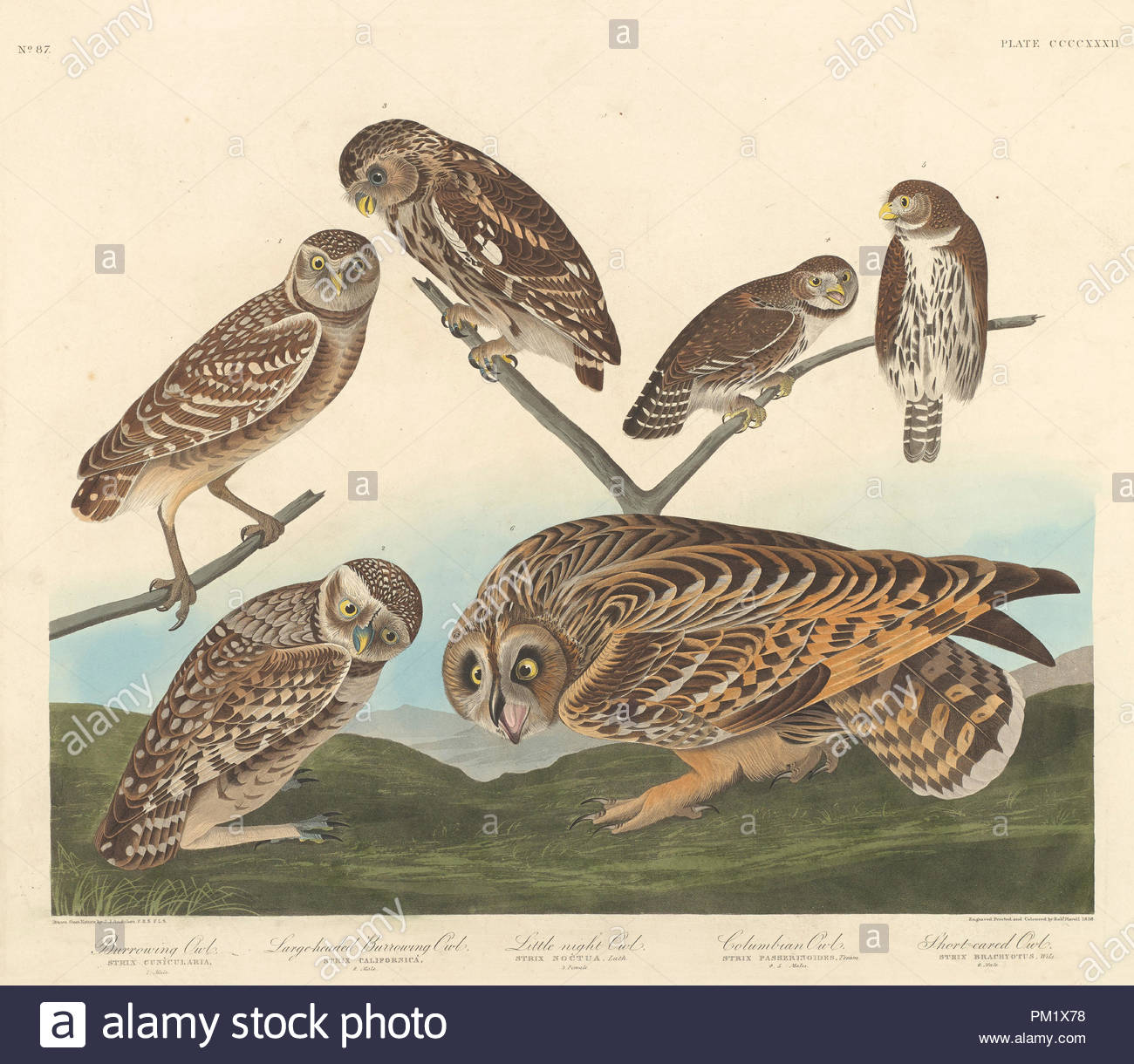Grabende Eule, Large-Headed andLittle Graben OWL Night Owl. Stand: 1838. Medium: Handcolorierte Kupferstich und Aquatinta auf Whatman webte Papier. Museum: Nationalgalerie, Washington DC. Autor: Robert Havell nach John James Audubon. Stockbild
