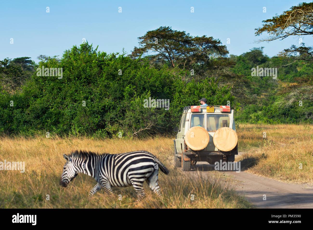 Safari Fahrzeug mit Touristen auf eine Pirschfahrt, Zebra, Vergangenheit und 4X4 Safari Fahrzeug Stockbild
