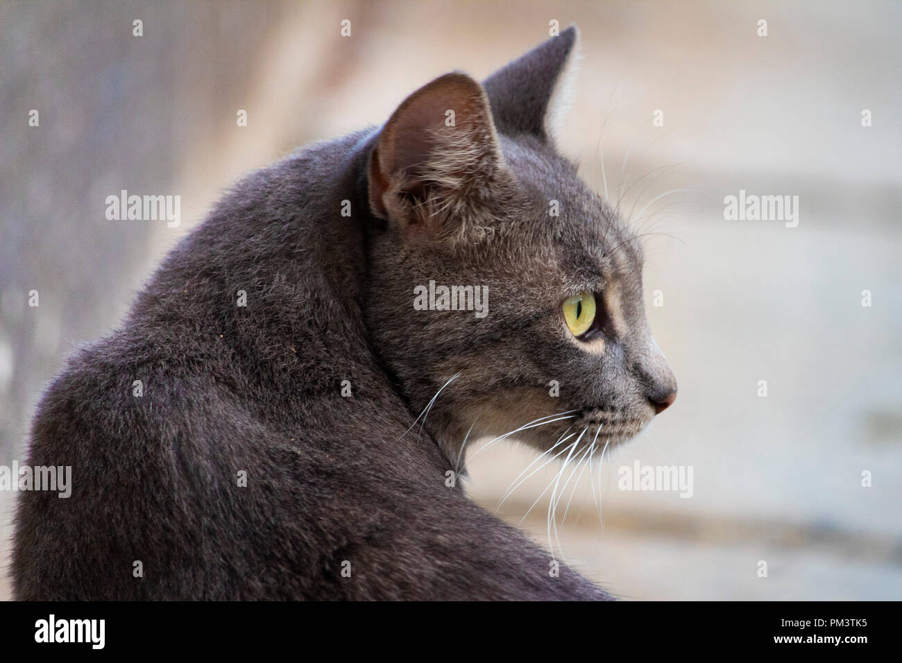 Super niedlich isoliert graue Katze Portrait auf der Straße Stockbild