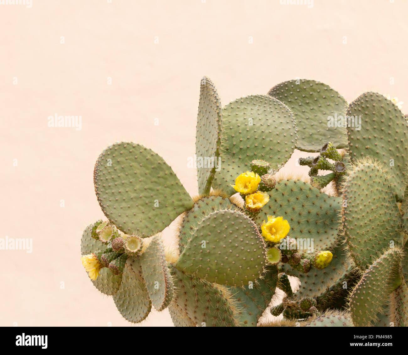 Gelbe Kaktusblüte Opuntia ficus mit einfachen Creme Farbe Hintergrund Stockfoto