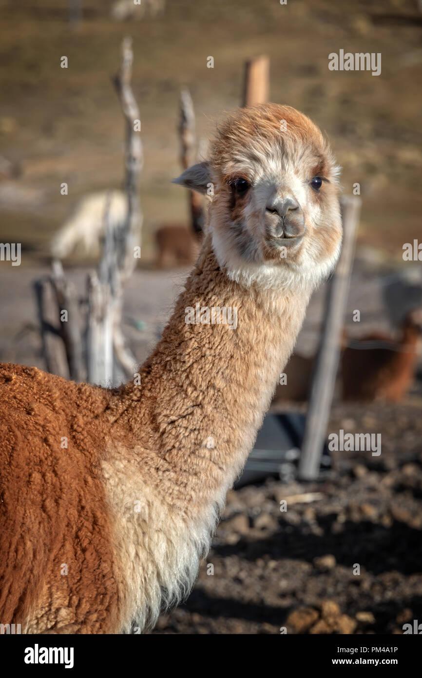 Rot alpaca Portrait in Bolivien Stockbild