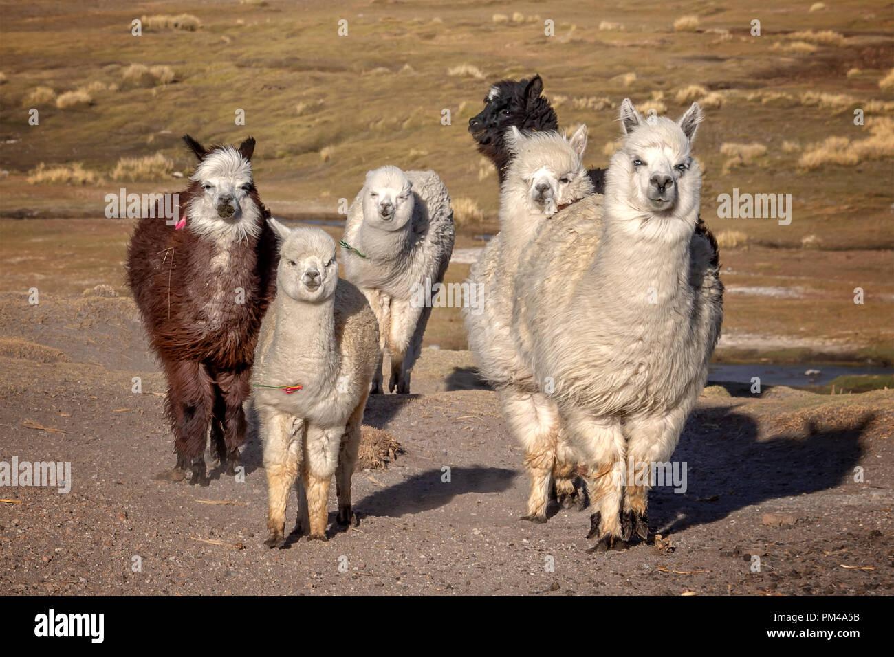 Gruppe von neugierigen Alpakas in Bolivien Stockbild