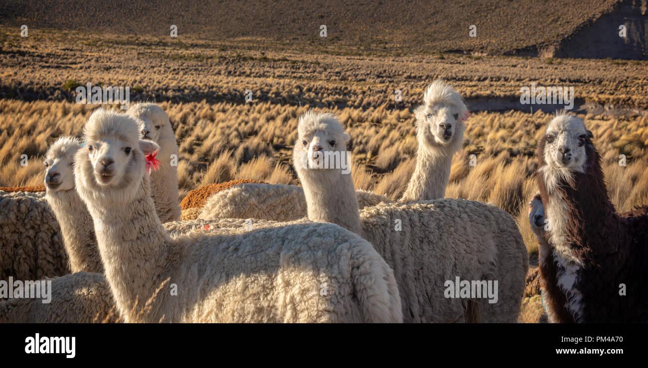 Herde von neugierigen Alpakas in Bolivien Stockbild